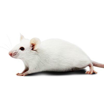 免疫缺陷小鼠模型