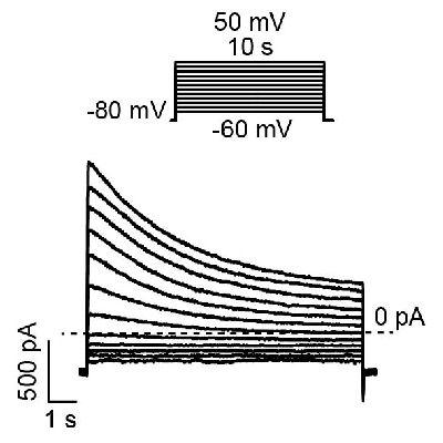 膜片钳检测-质粒瞬转细胞电流检测