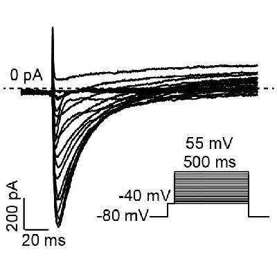膜片钳检测-心肌细胞检测