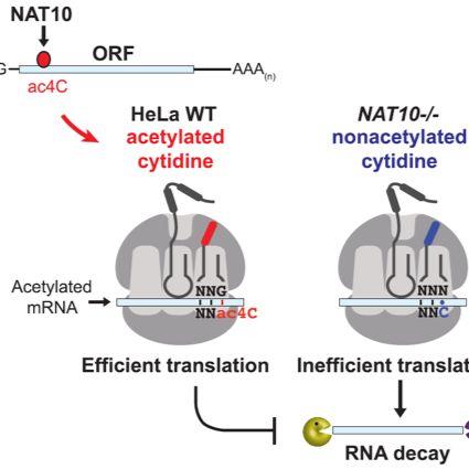 表观修饰acRIP-seq(ac4C RNA乙酰化)