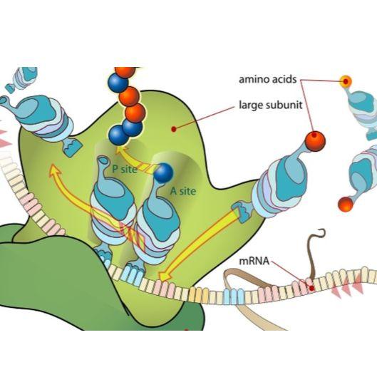 Ribo-seq(翻译组测序,包含RNA-seq)