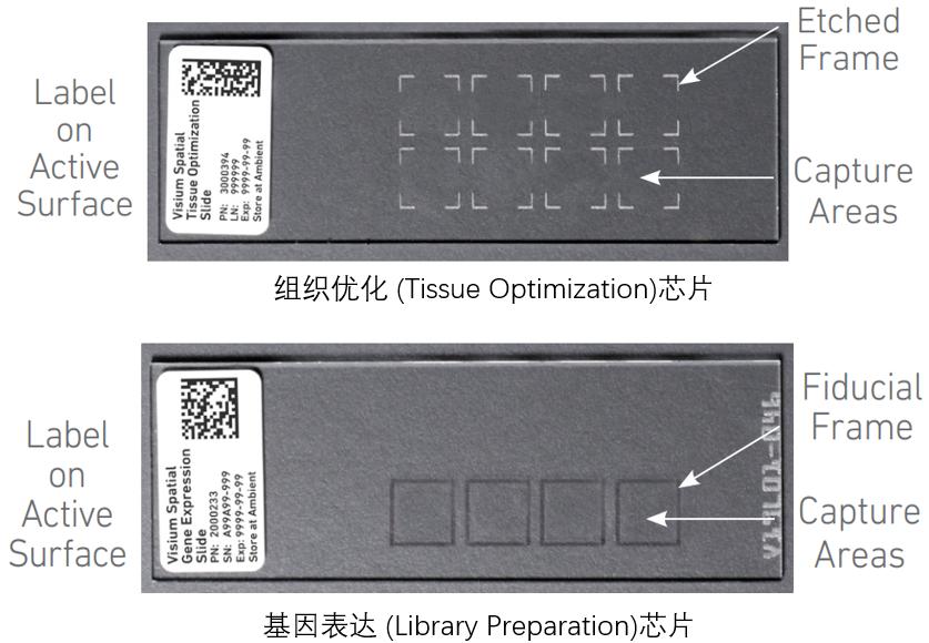 10X 空间转录组测序两种芯片