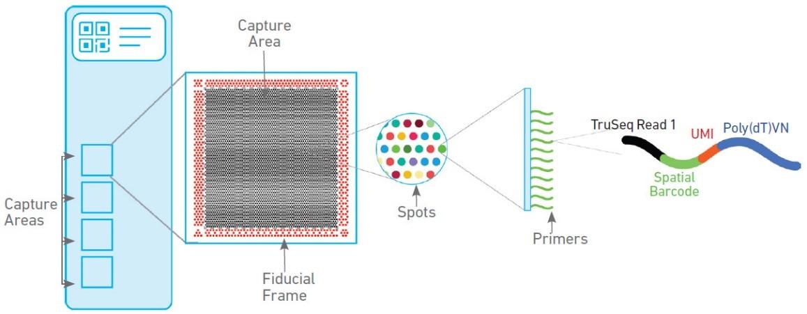 10X 空间转录组测序芯片工作原理