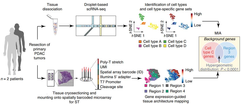 ST联合scRNA揭示胰腺导管癌组织细胞类型及结构