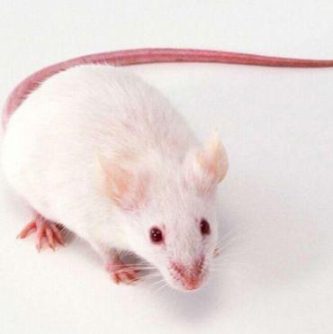 脑缺血模型大鼠