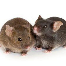 B6CBA-R6/2转基因小鼠