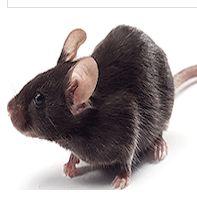 DB DB小鼠