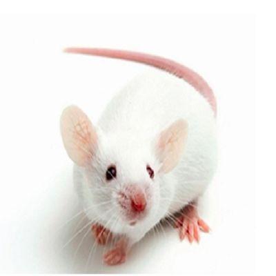 NOD SCID小鼠