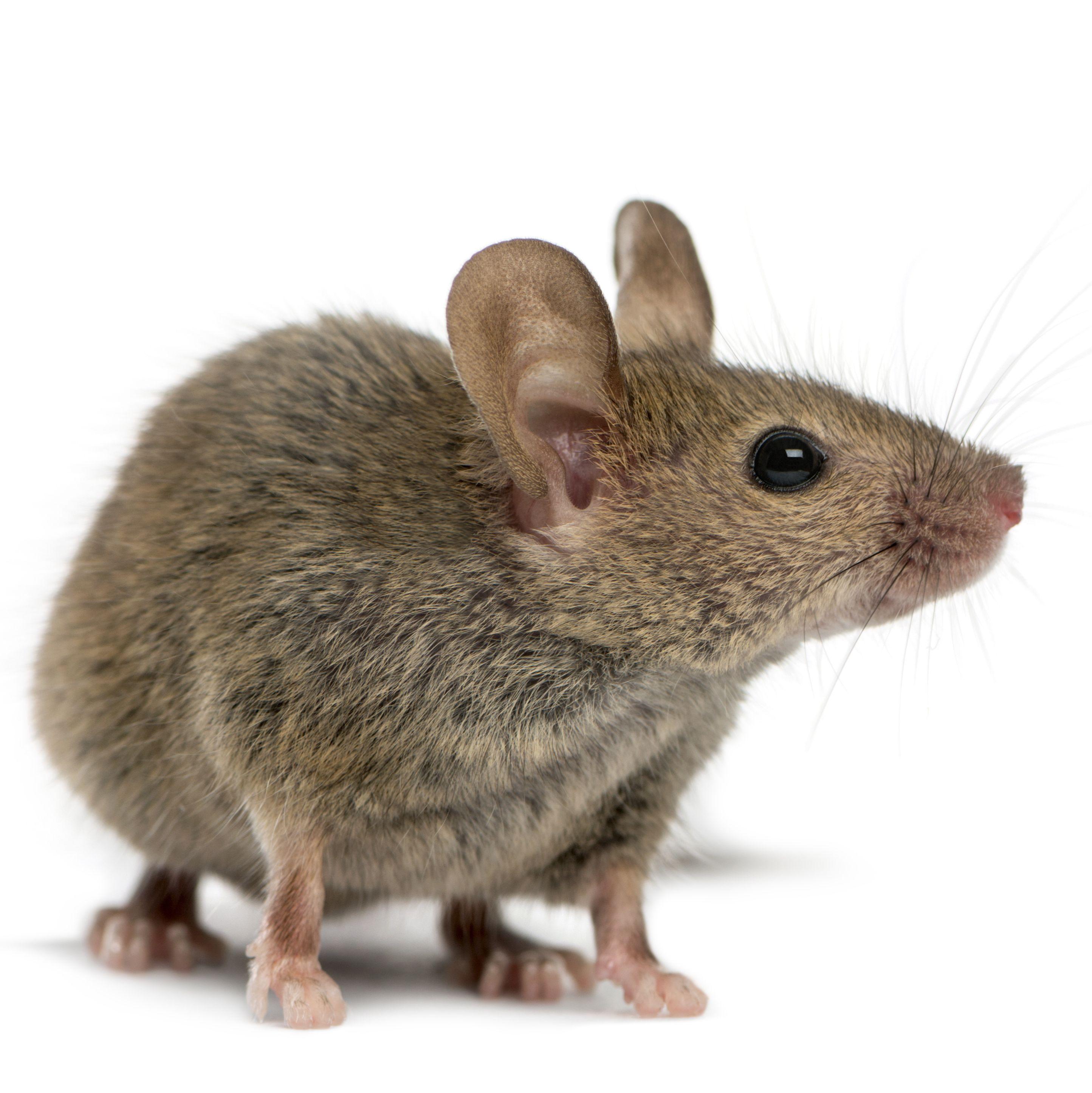 外显子缺失小鼠