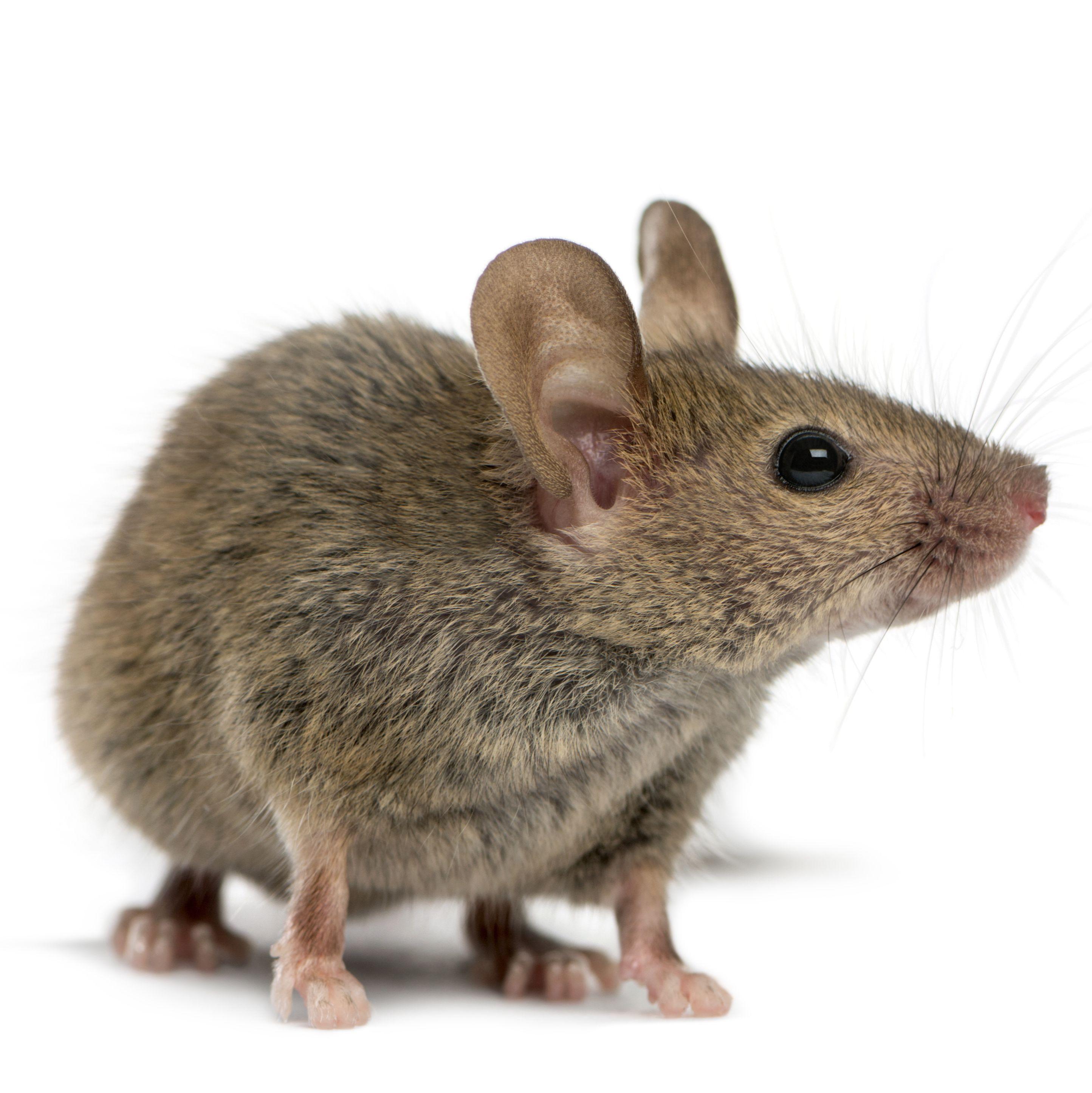 根据您的需求订製设计的基因敲入小鼠