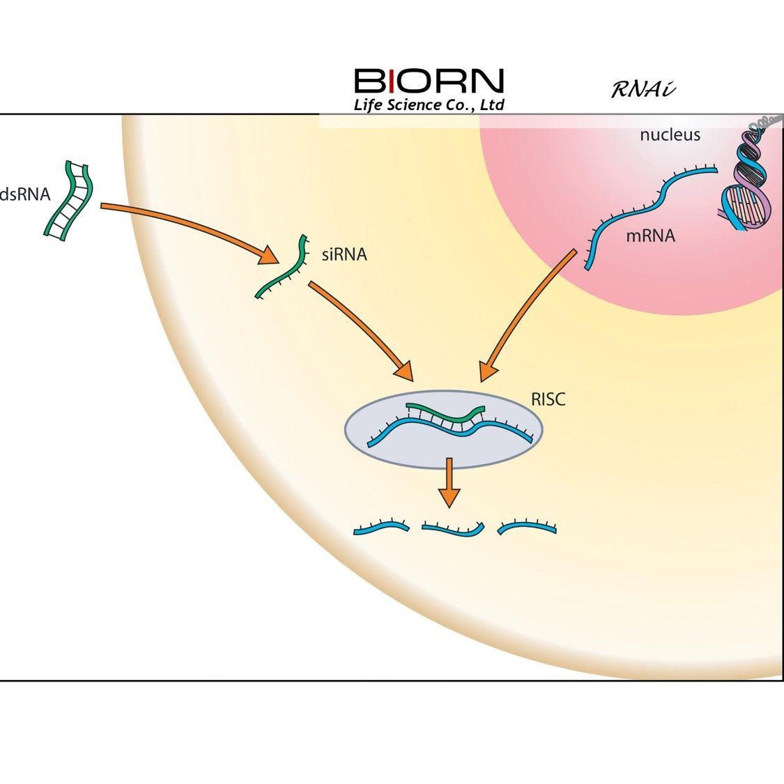 siRNA转染