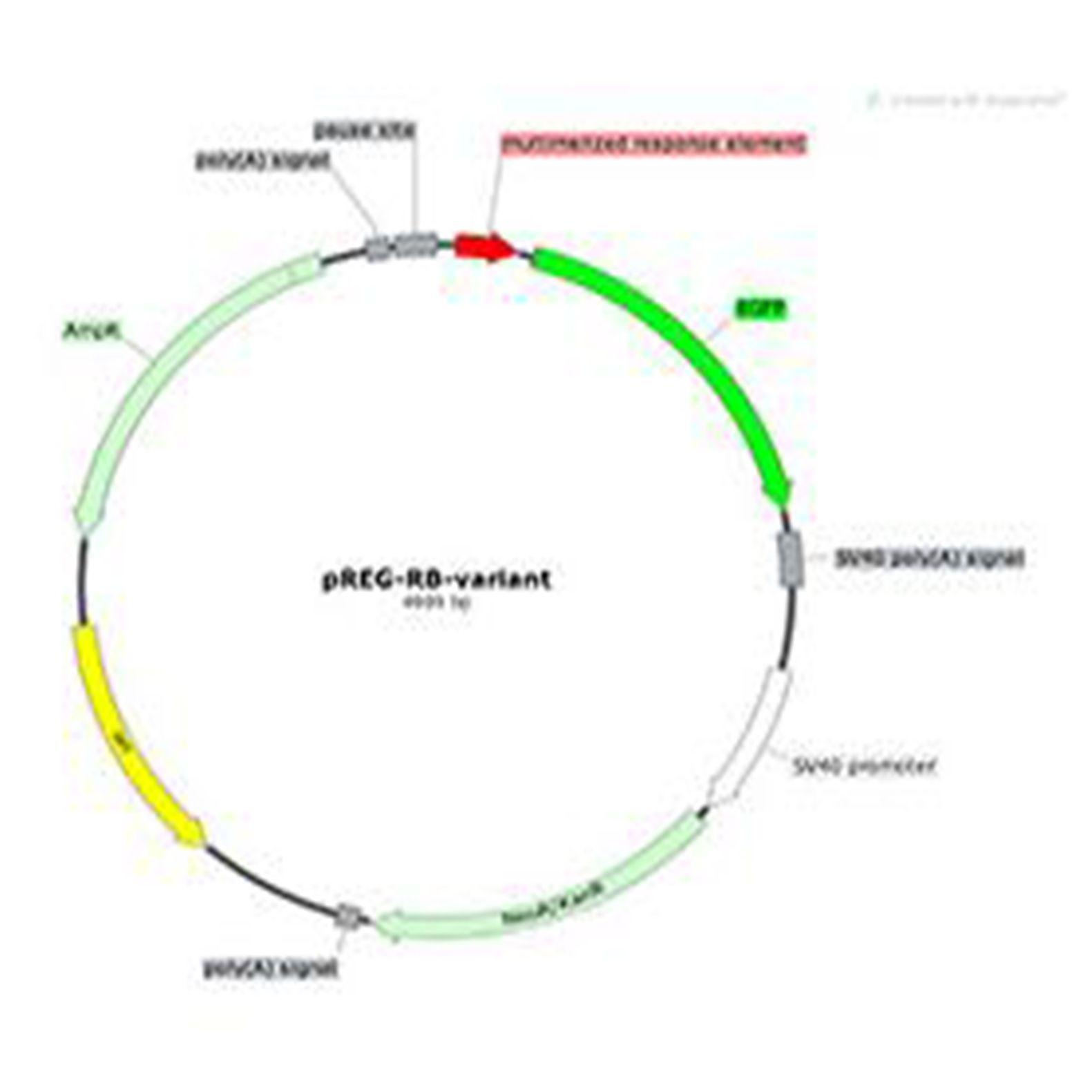 信号通路报告基因载体