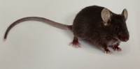 Ldlr小鼠(低密度脂蛋白基因敲除小鼠)