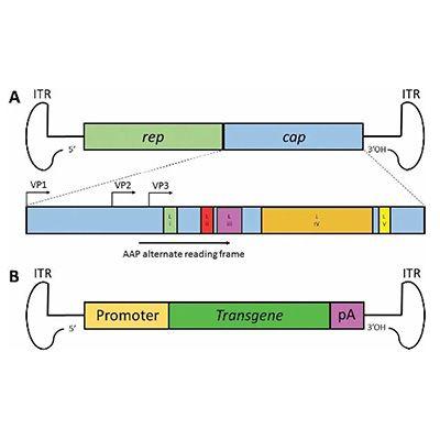 AAV-ITR测序