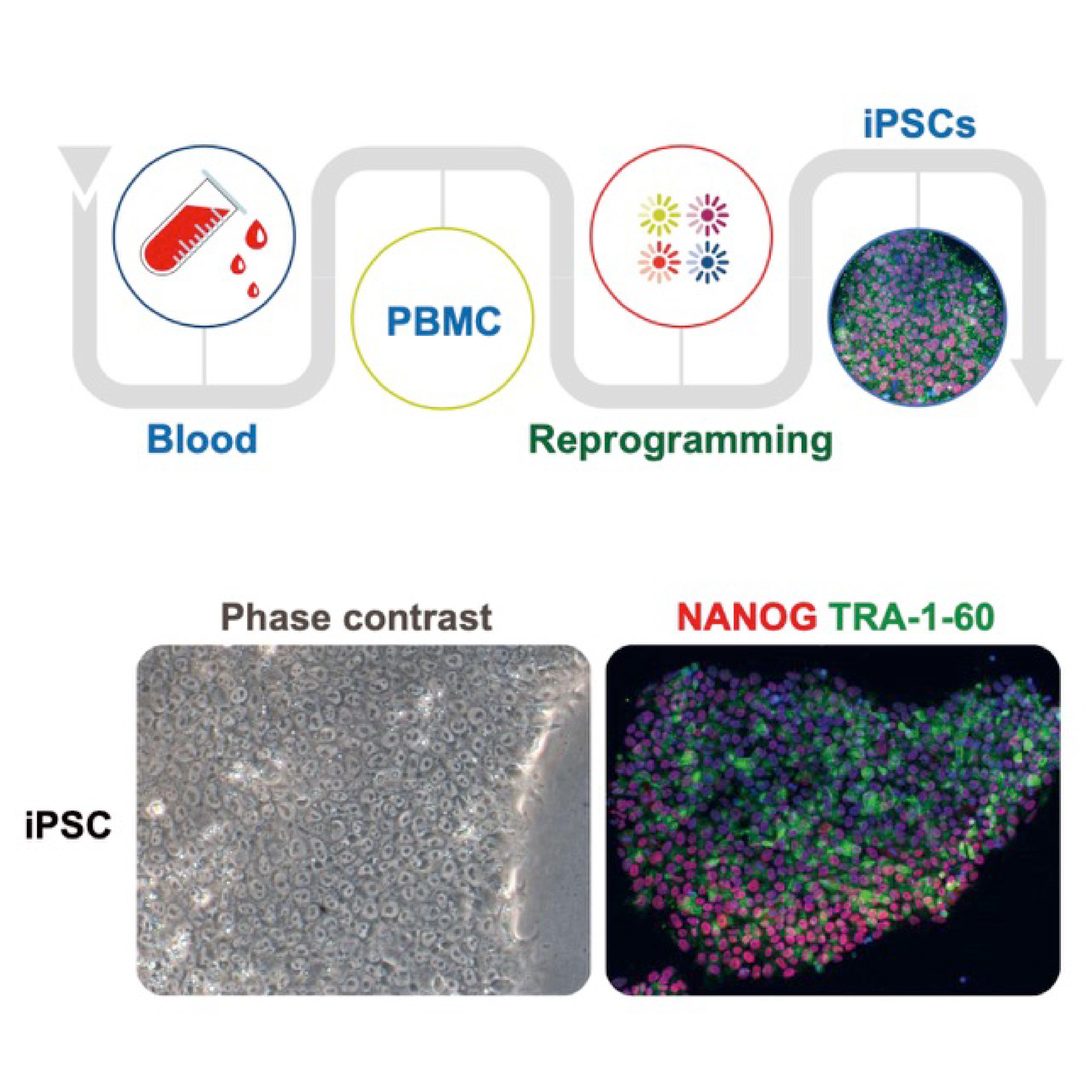 人体细胞iPSC仙台病毒重编程服务