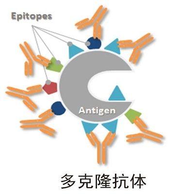 多克隆抗体制备(兔多抗)-多肽抗原路线