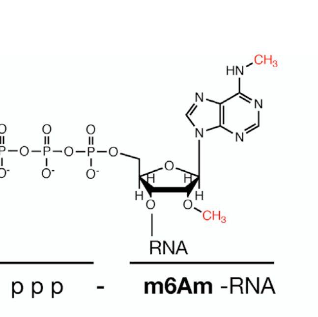 m6Am-Exo-seq mRNA测序