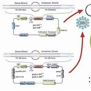 pET28a-hpKM1人源基因质粒