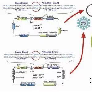 pCXLE-hOCT3/4-shp53-F人源基因质粒