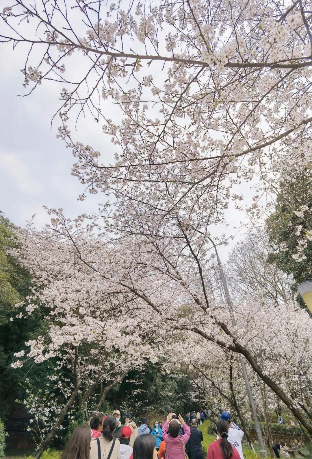 河南省直三院援鄂代表齐路、何元元受邀赴武汉赏樱