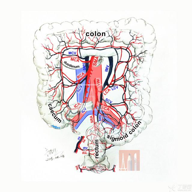 用 3 张图讲明腹腔血管,手术必备!